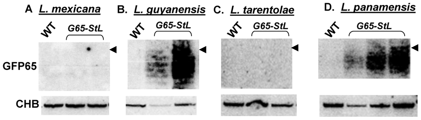 GFP siRNAs in <i>Leishmania</i> species.