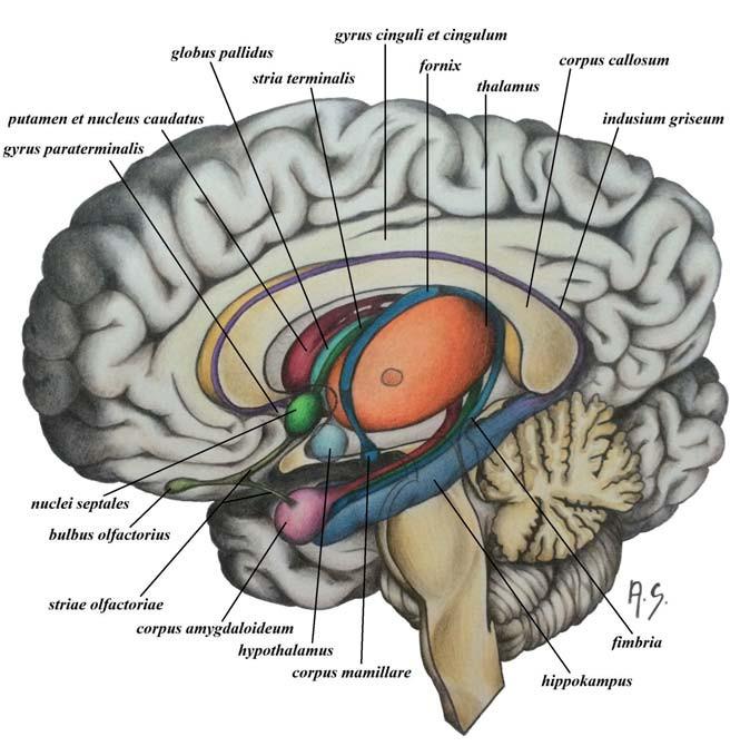 Obr. 1a) Schéma limbického systému s jeho hlavními spoji. Fig. 1a) A scheme of the limbic system and the main clutch.