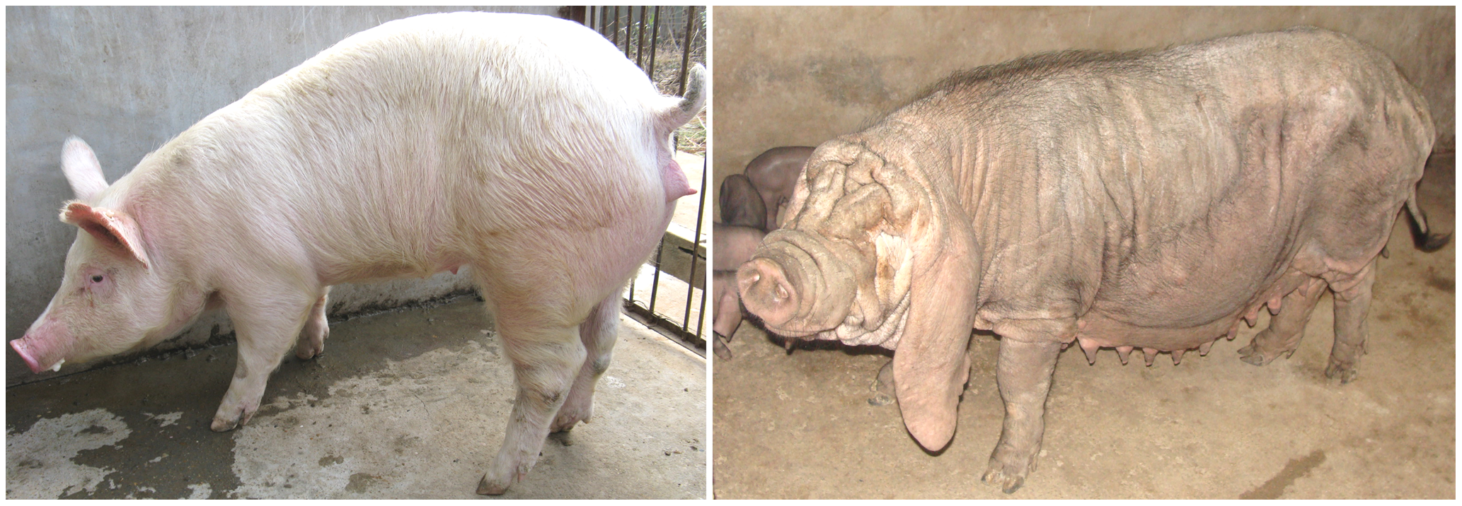 The Erhualian and White Duroc phenotypes.