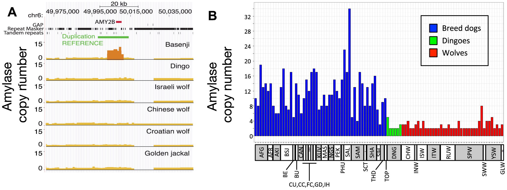 Copy number variation at amylase (<i>AMY2B</i>) locus.