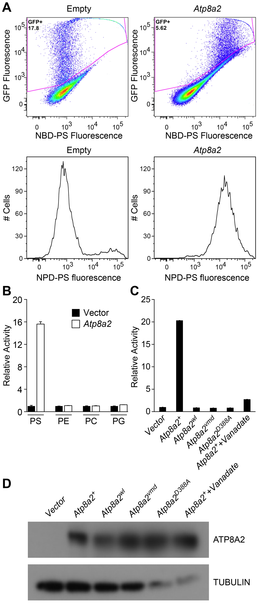 ATP8A2 contains phosphatidylserine translocase activity.