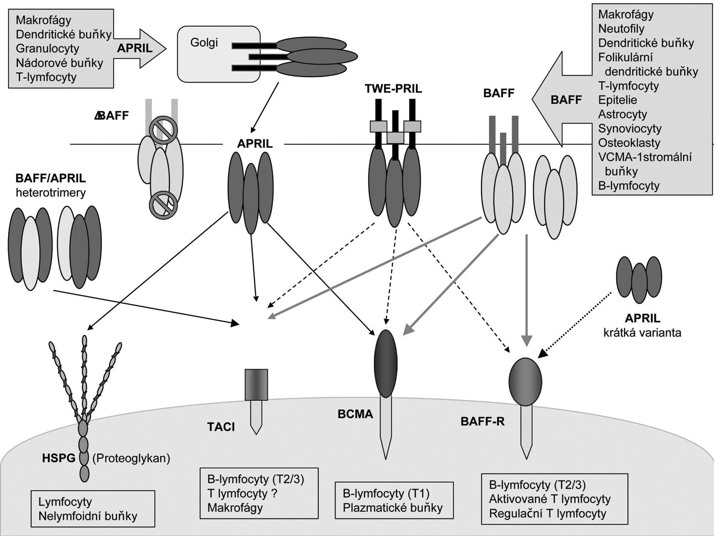 Interakce a exprese ligandů a receptorů systému BAFF/APRIL (Upraveno podle (60)). V horní části jsou zobrazeny ligandy:  Zleva doprava: heterotriméry BAFF /APRIL (6), heterotrimér s BAFF (značky znázorňují nemožnost odštěpení biologicky aktivního ligandu) (5), APRIL (odštěpen z Golgiho aparátu a uvolňovaný jako rozpustný ligand) (61), fusovaný protein TWE-PRIL (7) a homotrimér BAFF (2). Krátká varianta APRIL (poslední vpravo). Typy buněk, které tvoří BAFF a APRIL jsou znázorněny v obdélnících se šipkou. Ve spodní části jsou zobrazeny receptory: Zleva doprava: Heparin sulfátové proeoglykany (HSPG), TACI, BCMA a BAFF-receptor (BAFF-R) (25). Plné čáry zobrazují silné vazby, tečkovaná čára znamená slabou interakci, a přerušované čáry ukazují interakce které byly prokázány pouze nepřímo. Pod každým receptorem jsou vyjmenované typy buněk, které exprimují uvedené receptory. Zkratky: APRIL, a proliferation-inducing ligand; BAFF, B-cell activating factor; BAFF-R, BAFF receptor; BCMA, B-cell maturation antigen; BLys, B-lymphocyte stimulator; HSPG, Heparin sulfátové proeoglykany, TWEAK, Tumor necrosis factor-like weak inducer of apoptosis; TACI, transmembrane activator and calcium monulator and cyclophilin ligand interactor.