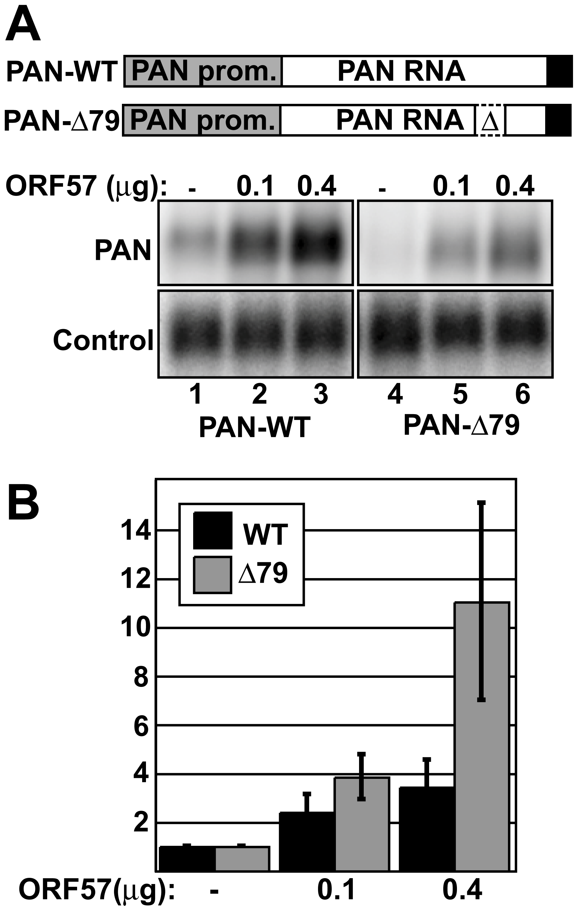ORF57 preferentially enhances the levels of an unstable nuclear RNA.