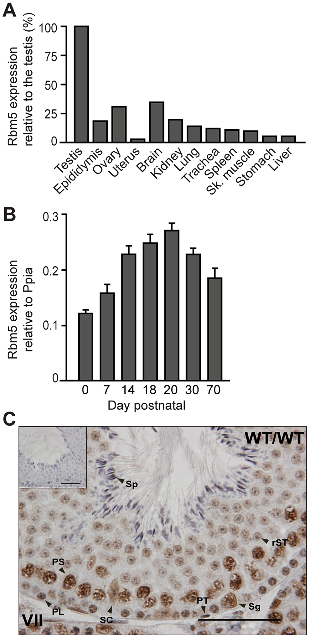 <i>Rbm5</i> mRNA is highly expressed in the testis where the protein localises in somatic and germ cells.
