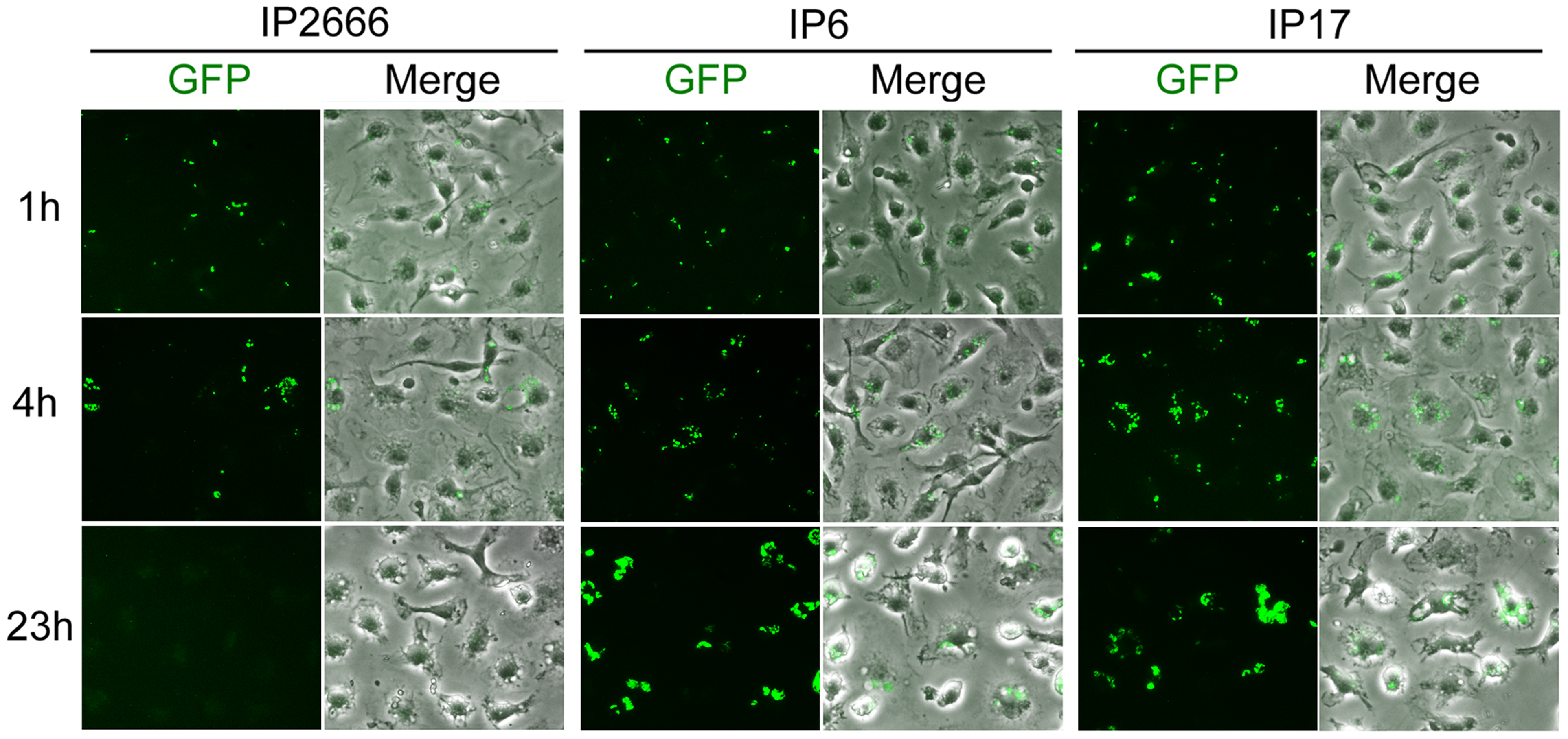 Comparison of different <i>Y. pseudotuberculosis</i> strains for survival inside macrophages as determined by fluorescence microcopy.