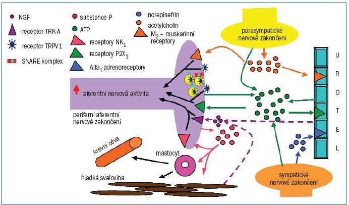 Schéma 4. Potenciální místo BTX modulace v senzorických drahách v močovém měchýři. Prostřednictvím poklesu lokálních zásob transmiterů, růstových faktorů a senzorických receptorů může BTX inhibovat aferentní nervovou aktivitu, zejména v případě zvýšené excitability (např. hyperaktivita detrusoru).