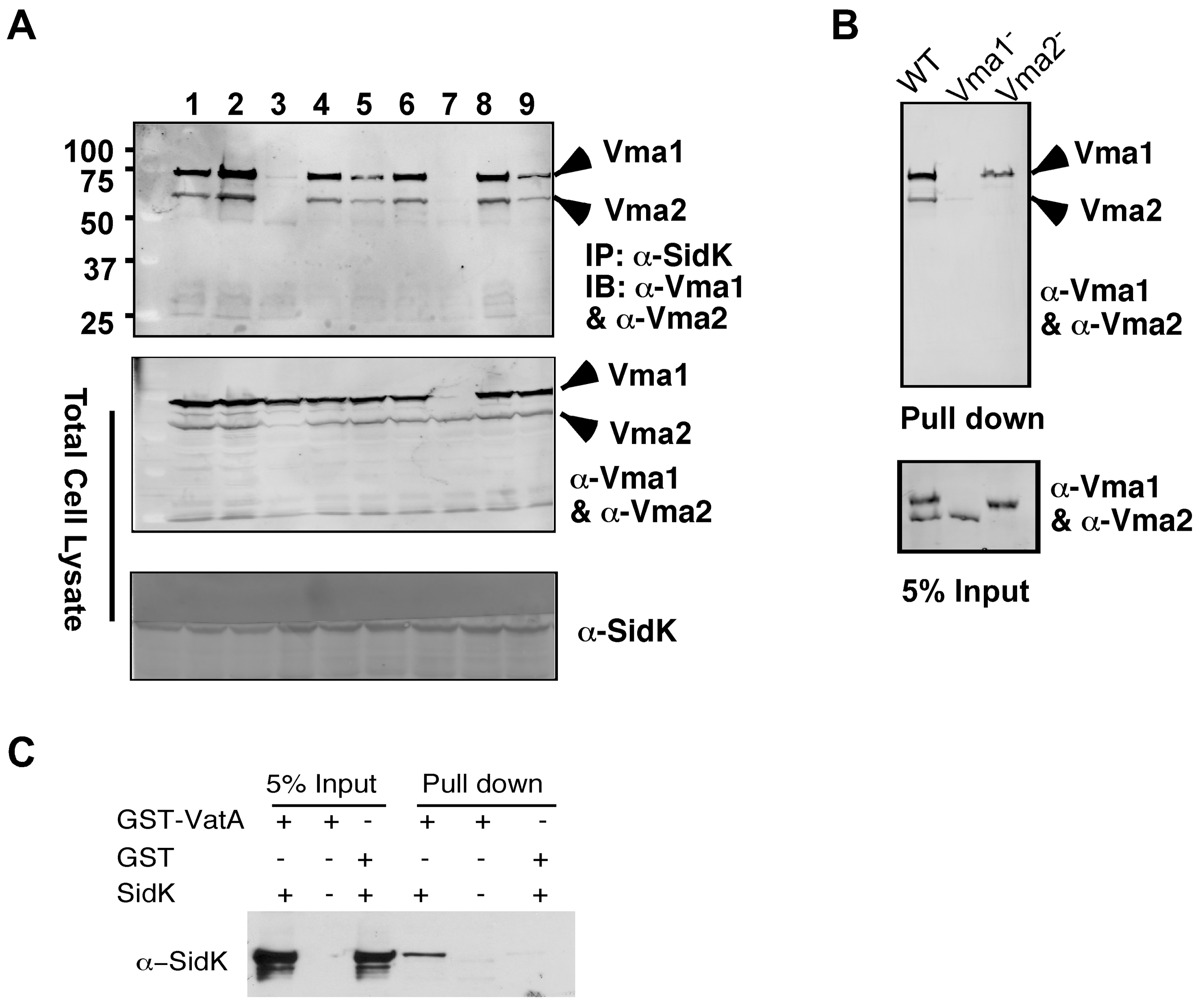 SidK directly interacts with VatA, the ATP hydrolyzing subunit of v-ATPase.