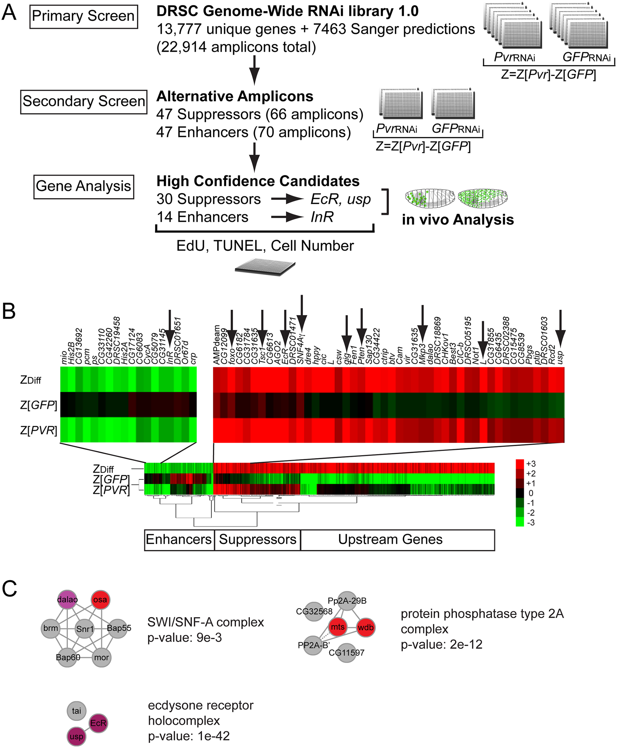 Genome-wide RNAi Pvr modifier screen.