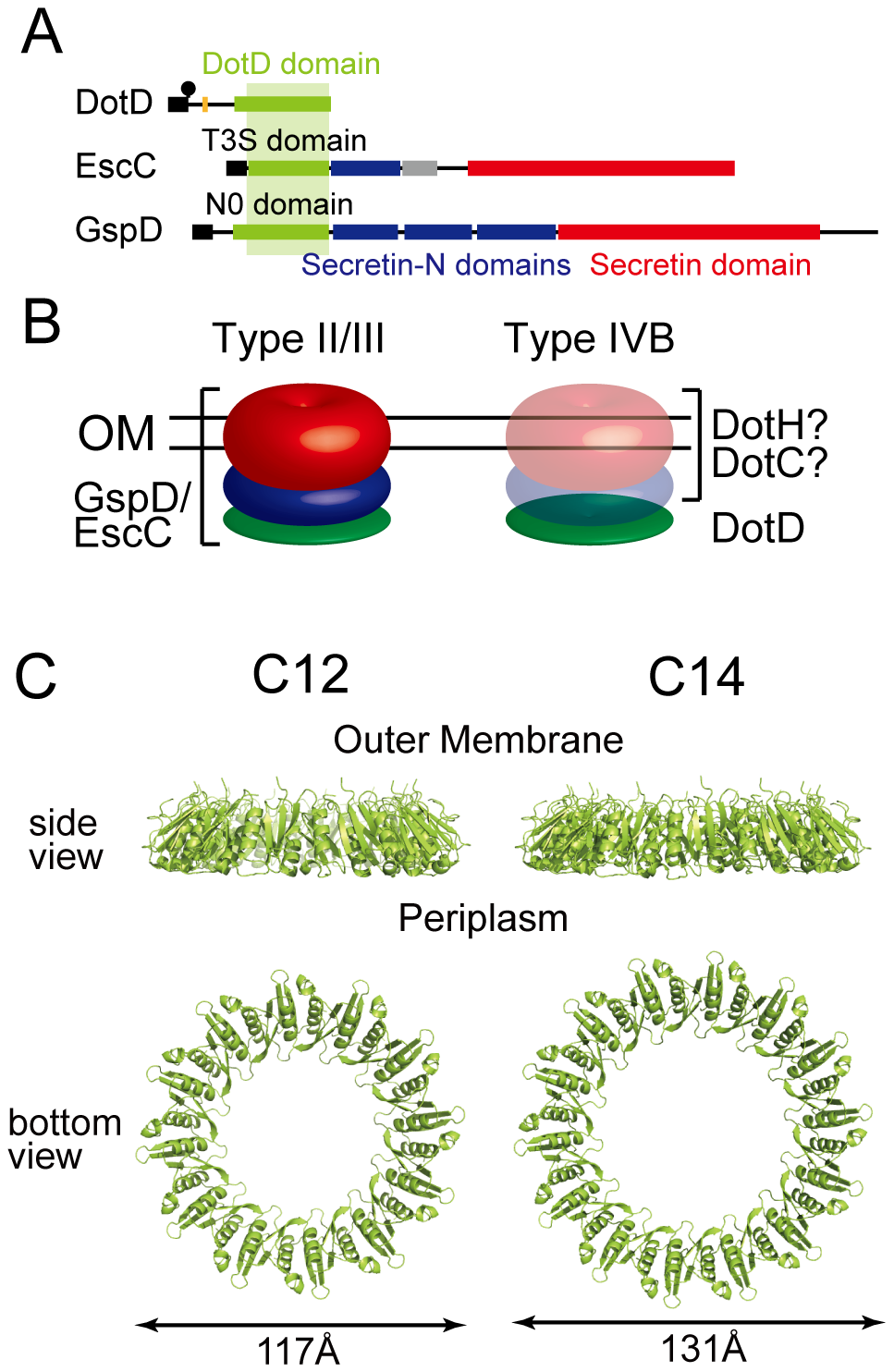 Periplasmic ring models of DotD.