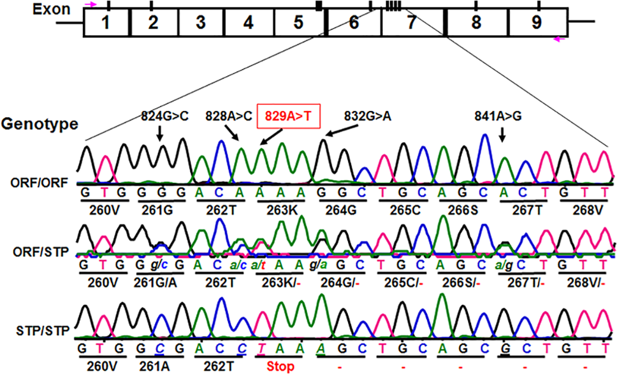 Identification of novel <i>CD177</i> coding SNPs and SNP haplotypes.