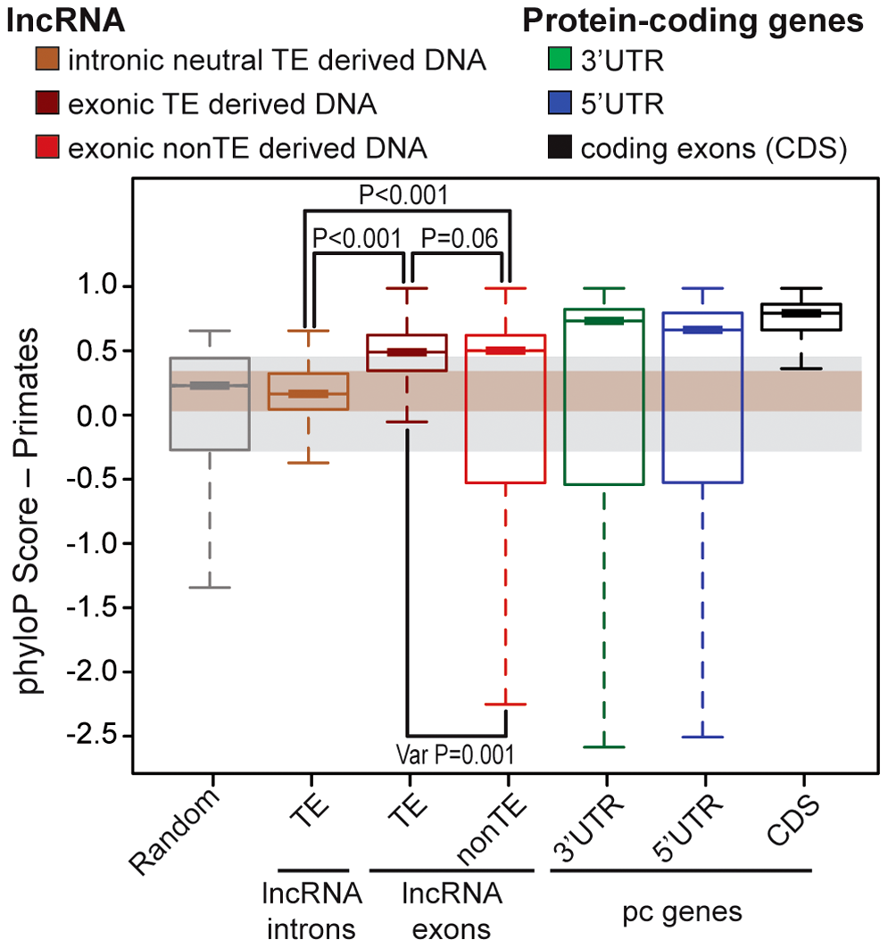 Evidence of purifying selection in TE–derived DNA transcribed as lncRNAs.