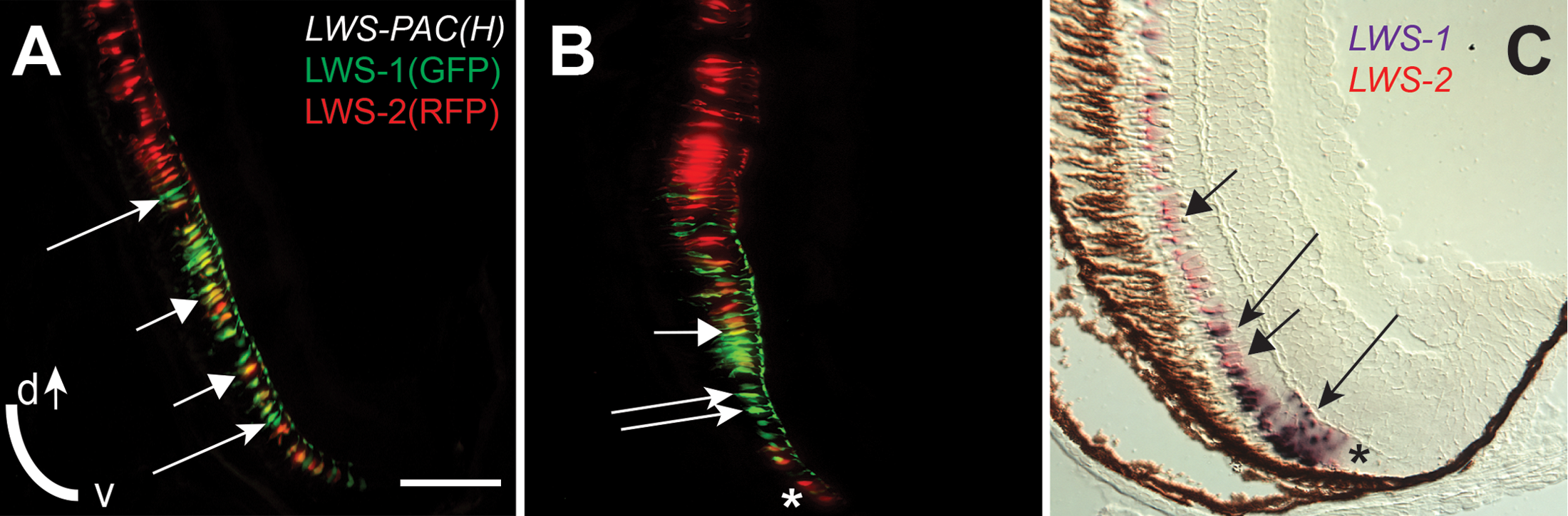 """An """"LWS Transition Zone"""" exists in ventral retina of juvenile fish."""