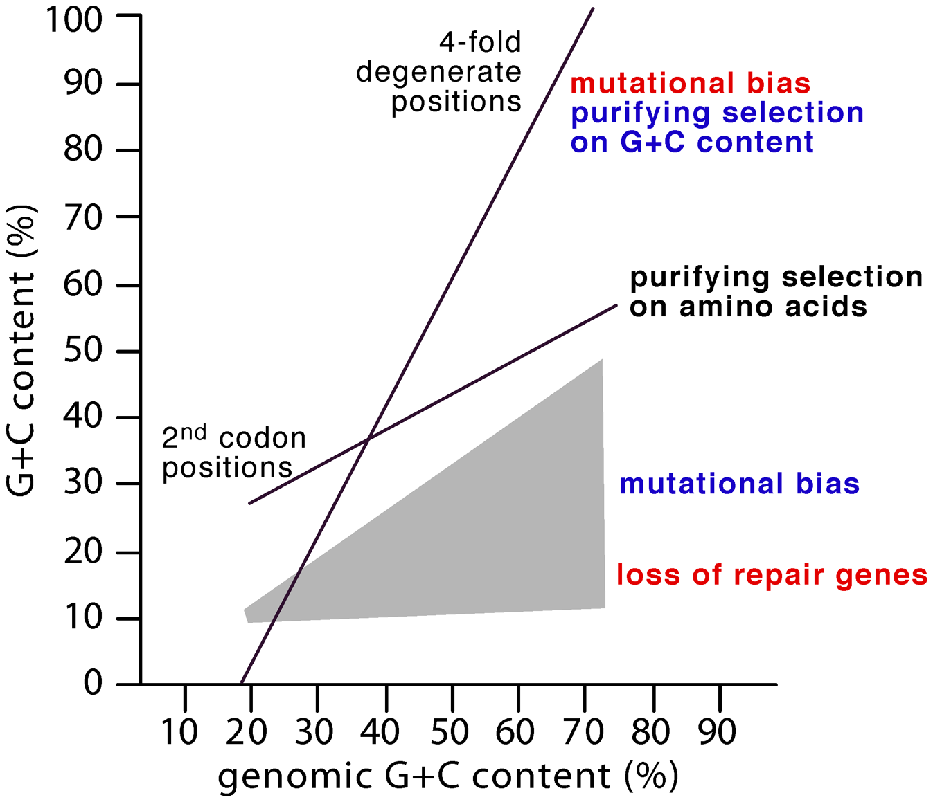 The GC composition of genomes is strongly correlated with second codon (GC<sub>2</sub>) and 4-fold degenerate positions (GC<sub>4</sub>) <em class=&quot;ref&quot;>[<b>2</b>]</em>.