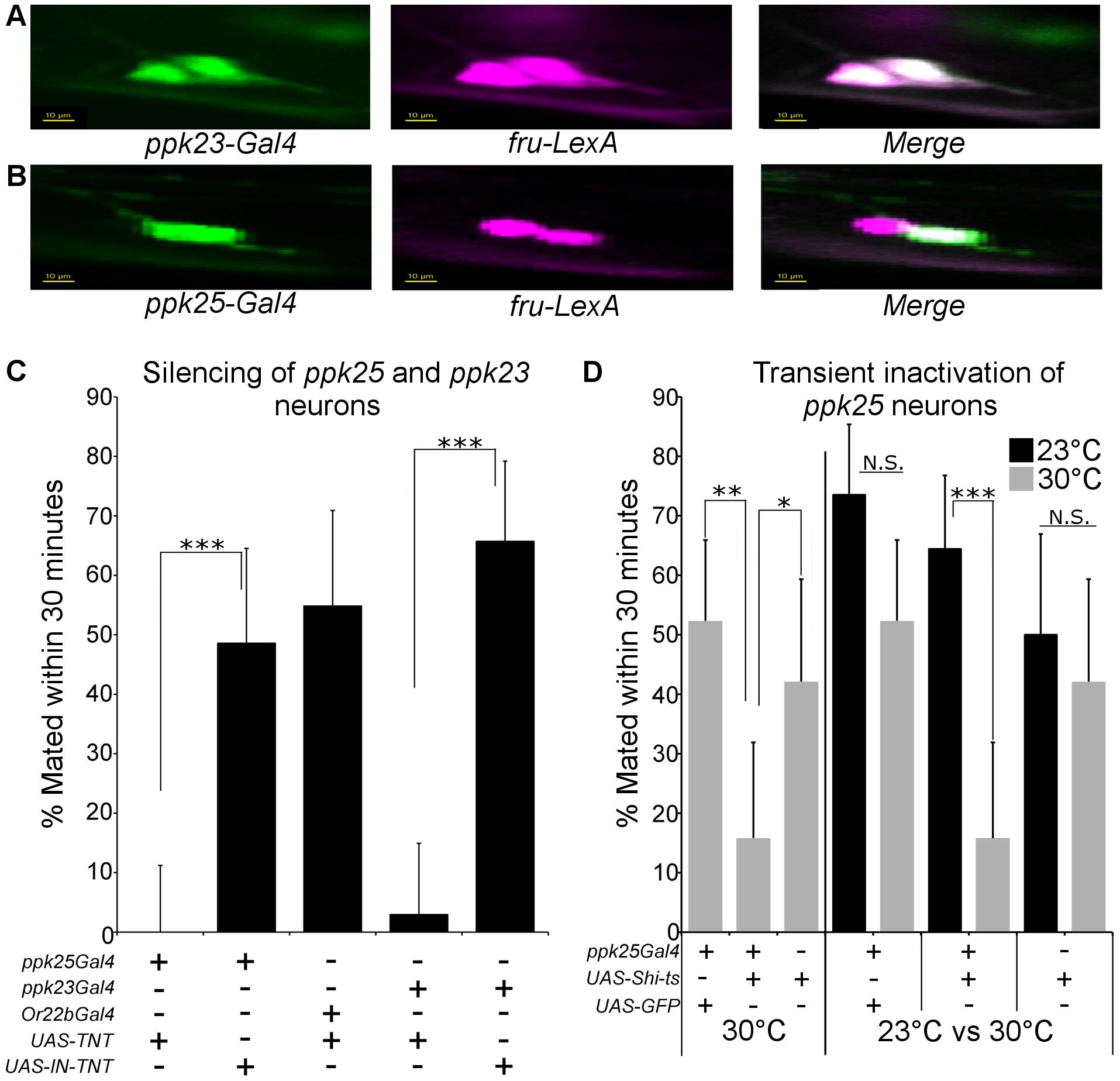 Female <i>ppk25-Gal4</i> neurons represent a subset of <i>ppk23-Gal4</i> neurons and are involved in female receptivity.