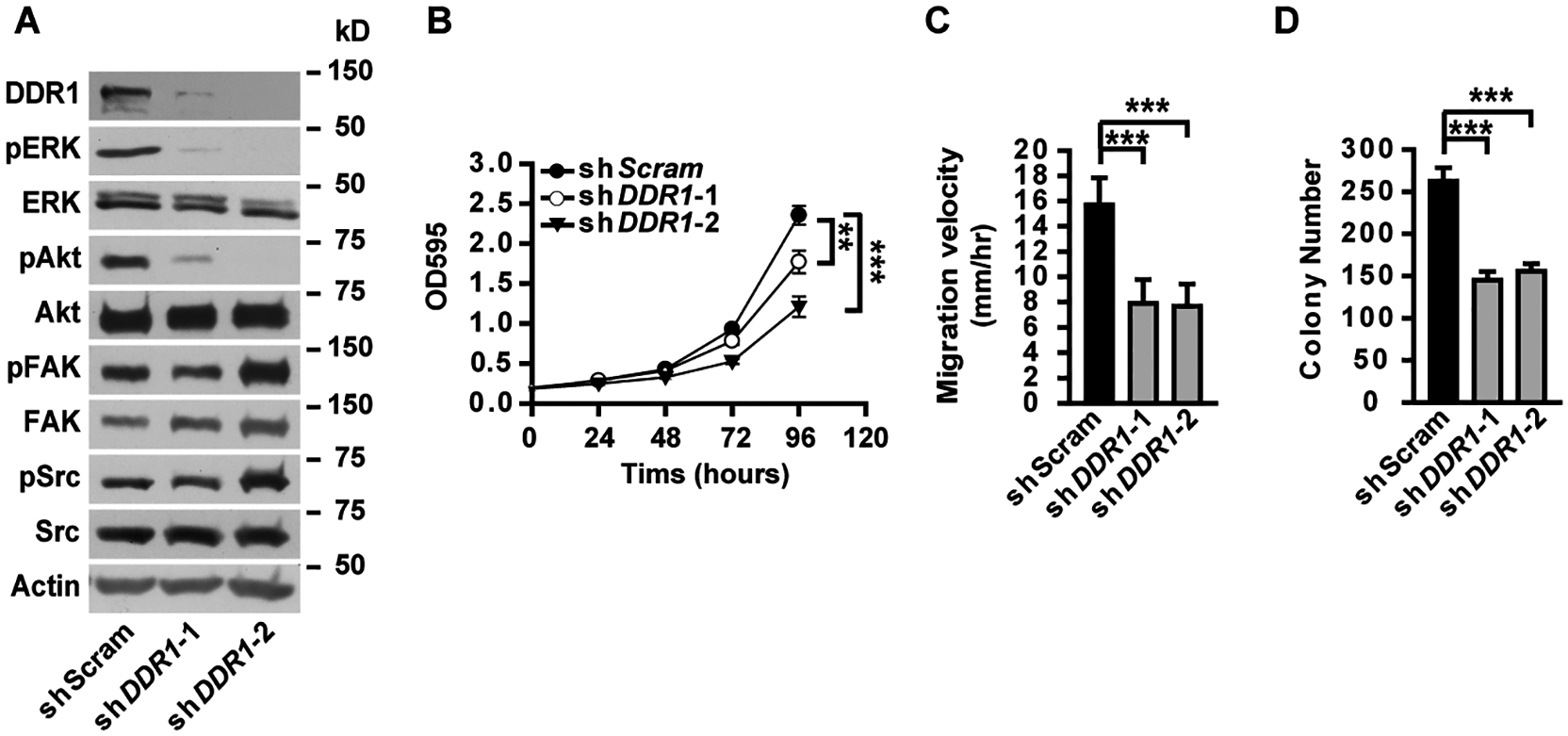 DDR1 is required for ERK activation, cell proliferation and migration in lung cancer cells.