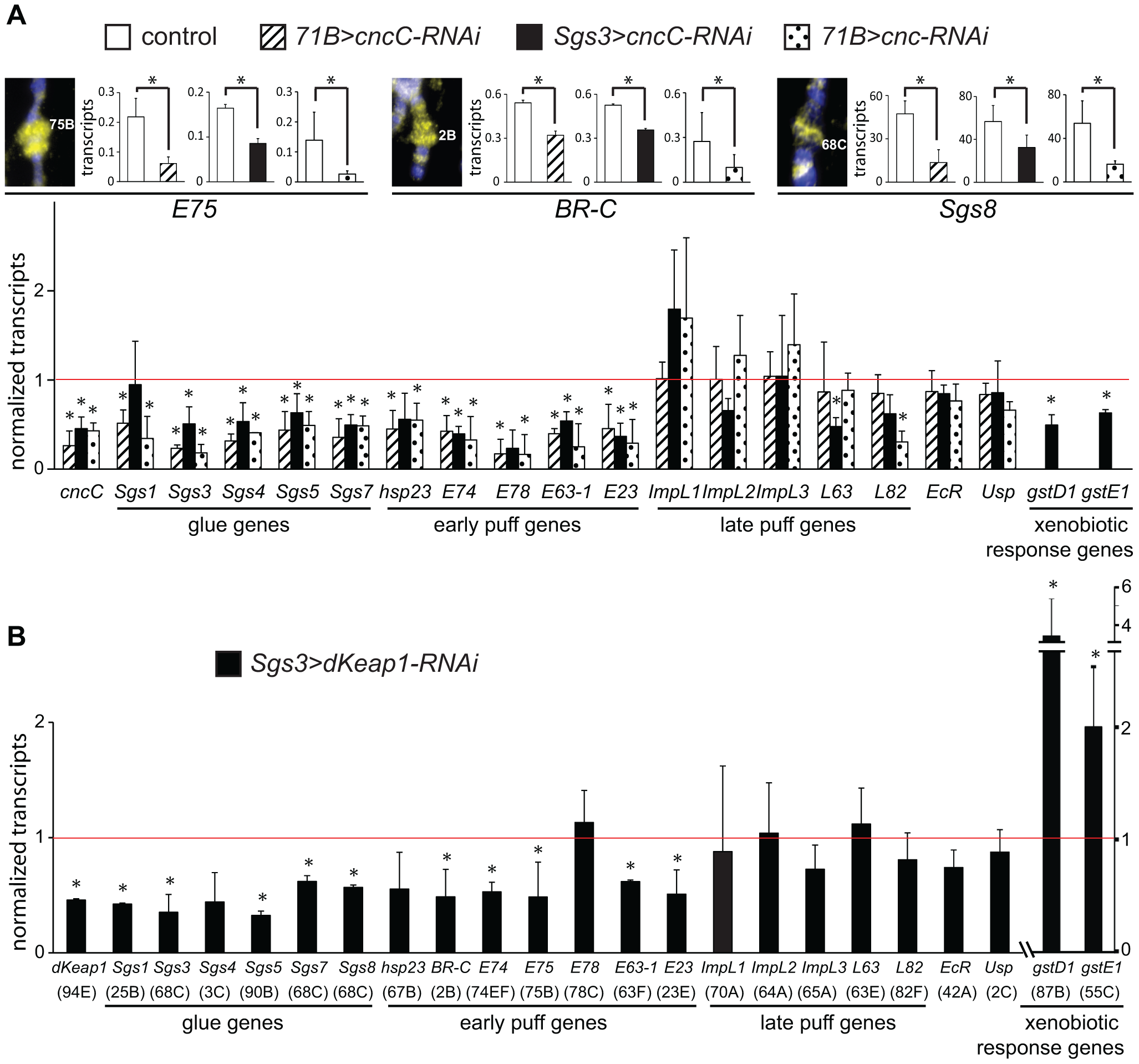 Regulation of early puff gene transcription by CncC and dKeap1.
