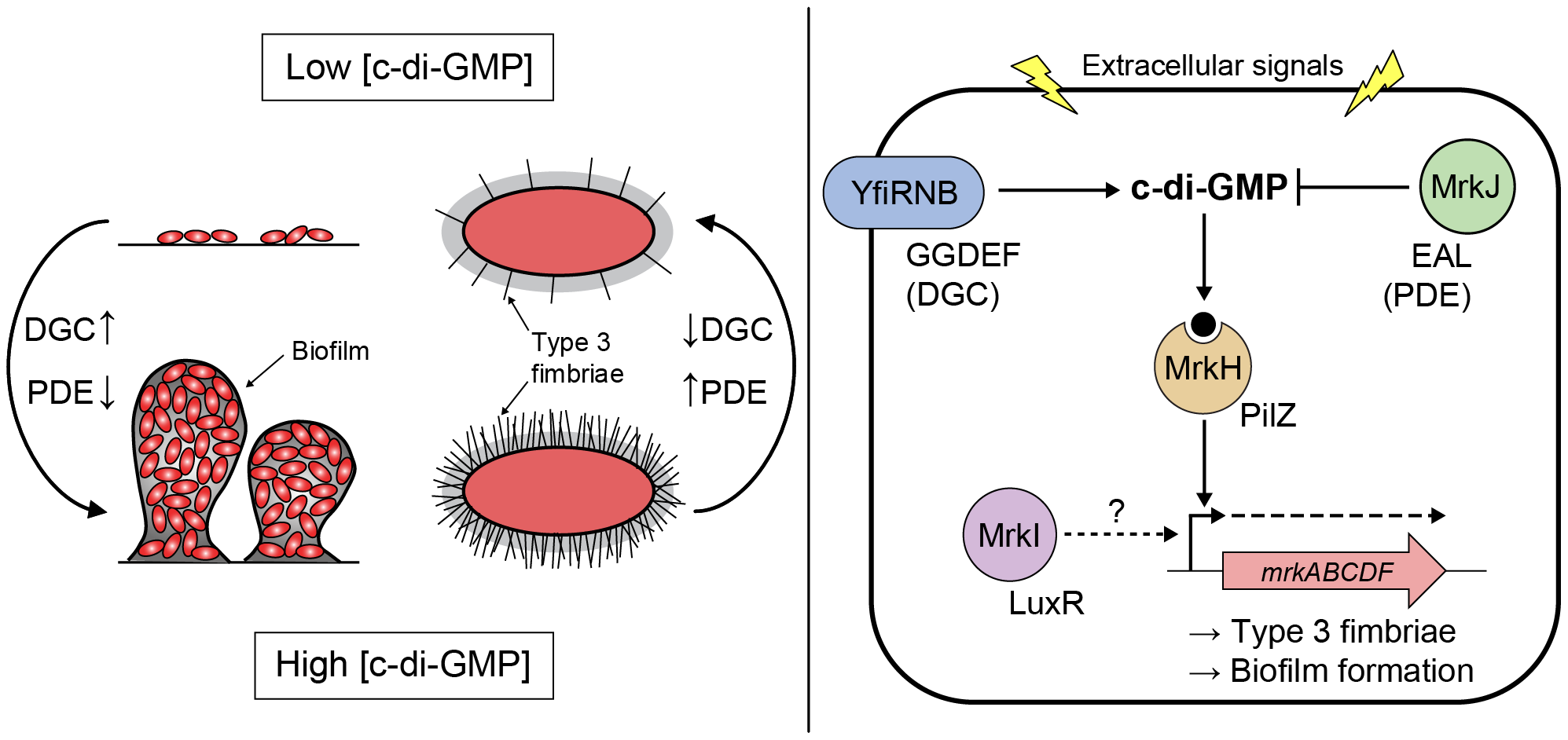 Model of c-di-GMP-mediated control of type 3 fimbriae expression and biofilm formation in <i>K. pneumoniae</i>.