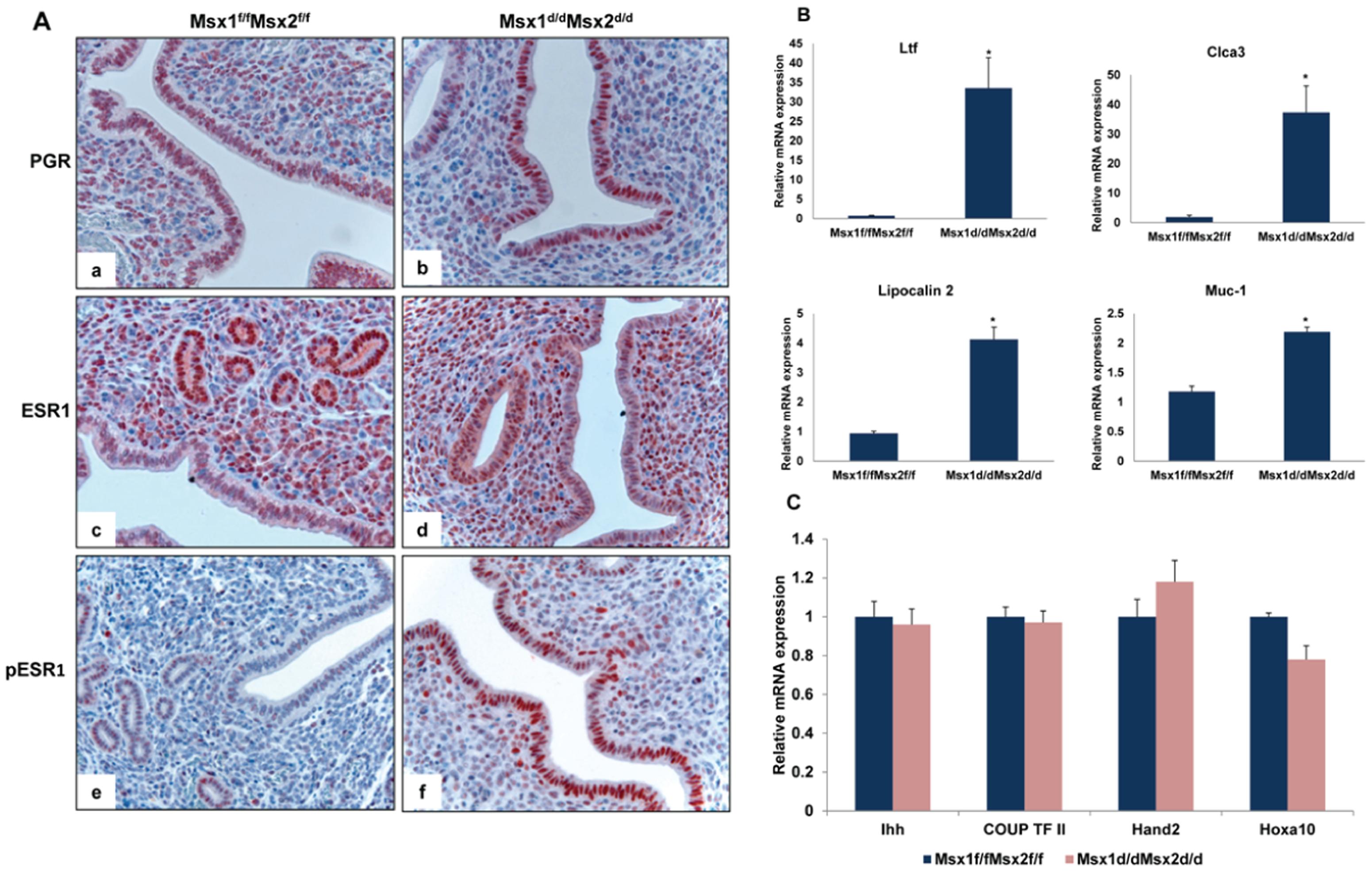 Enhanced ESR1 activity in the luminal epithelium of <i>Msx1<sup>d/d</sup>Msx2<sup>d/d</sup></i> uteri.
