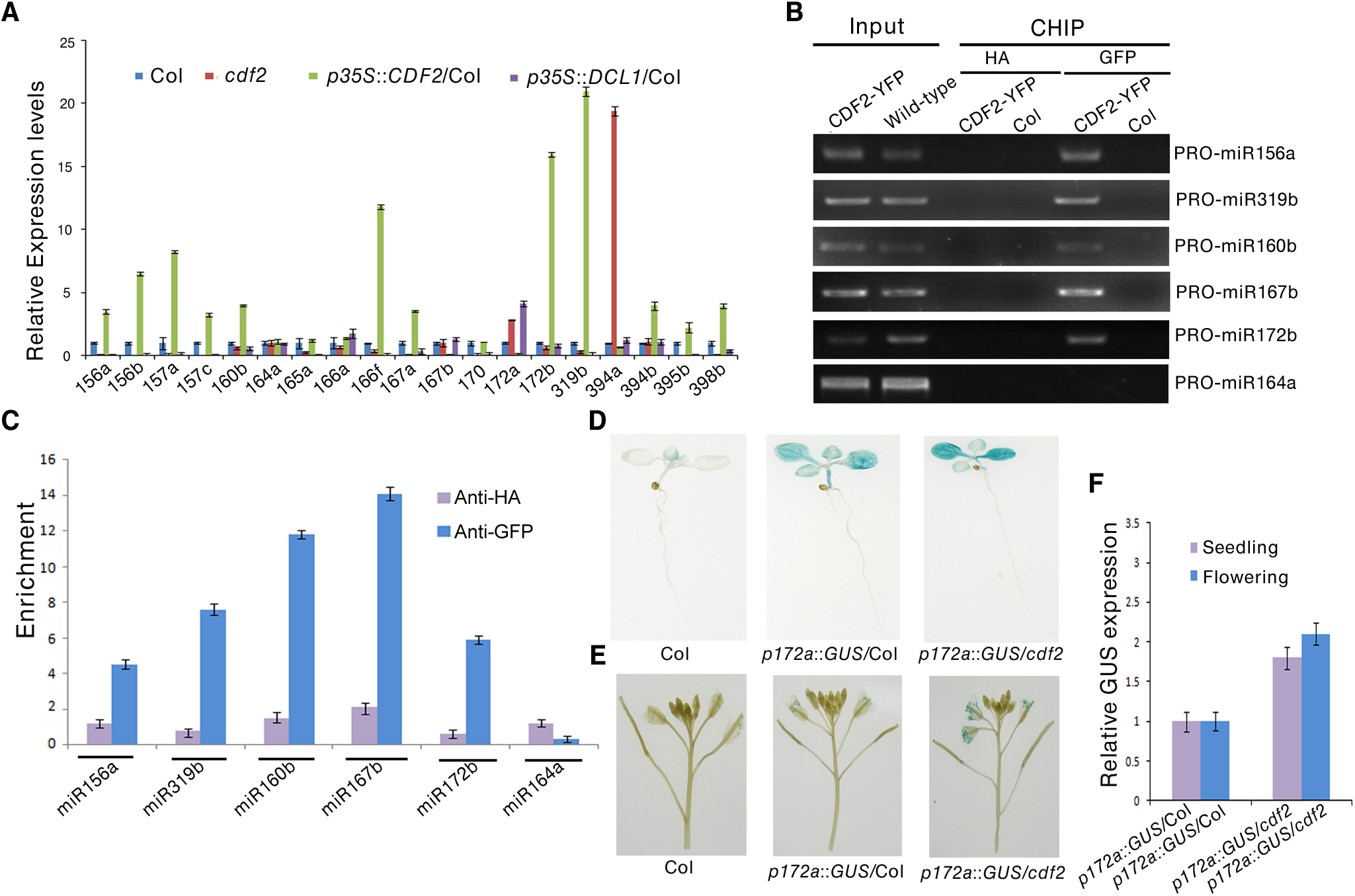 CDF2 acts as a transcription factor for some miRNA genes.