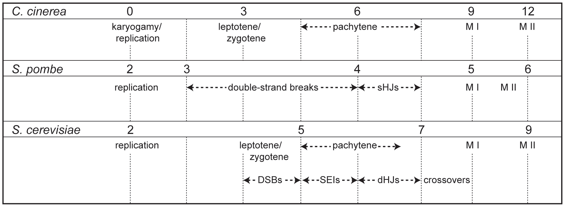 Timing of meiotic events in <i>C. cinerea</i>, <i>S. pombe</i>, and <i>S. cerevisiae</i>.