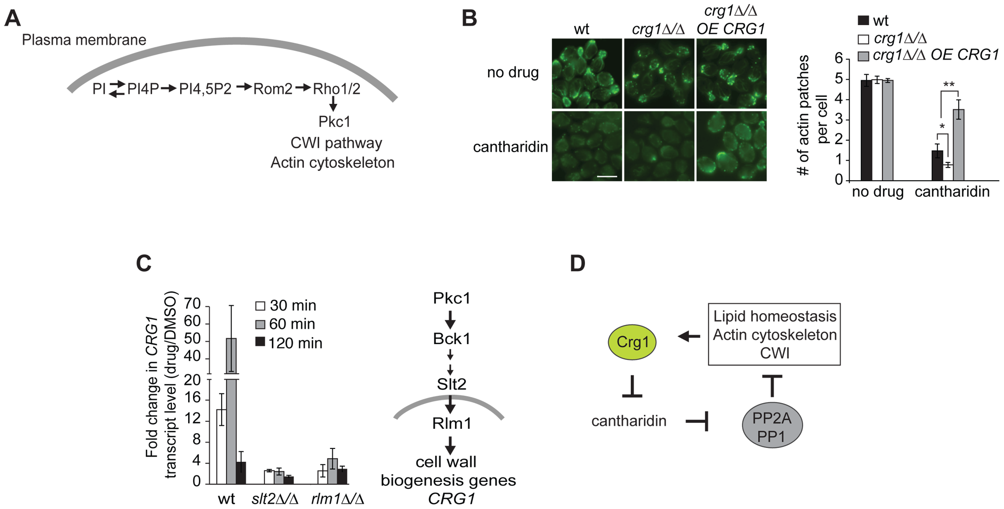 Crg1 is important for actin patch formation during cantharidin treatment.