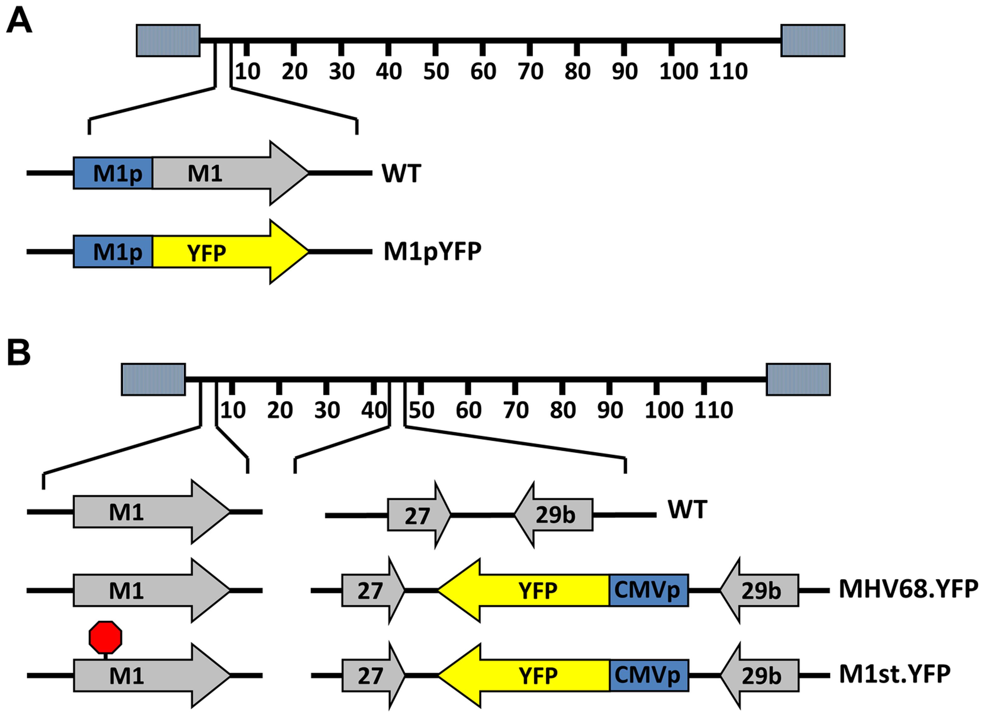 Generation of YFP reporter viruses.