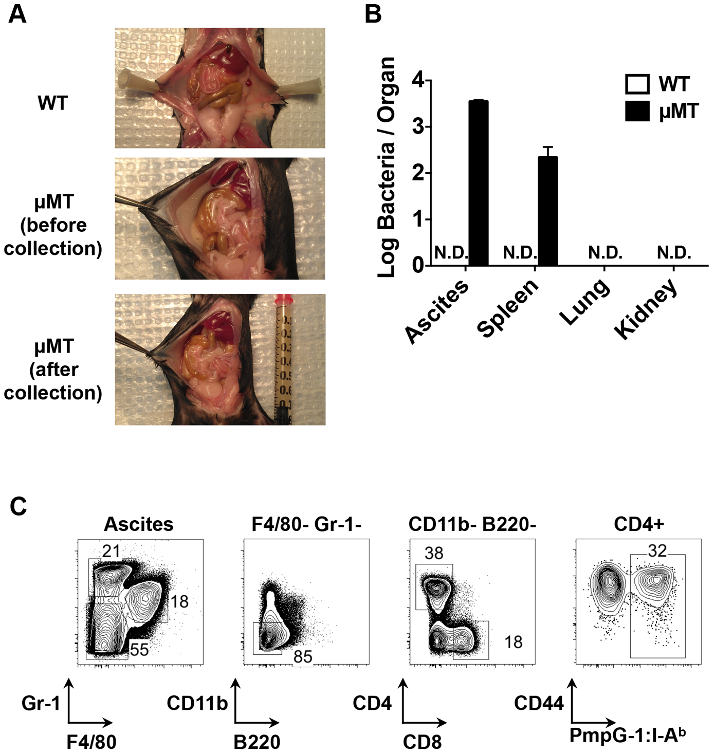 Dissemination of bacteria and development of ascites in B cell deficient mice (μMT) after <i>C. muridarm</i> i.vag. infection.