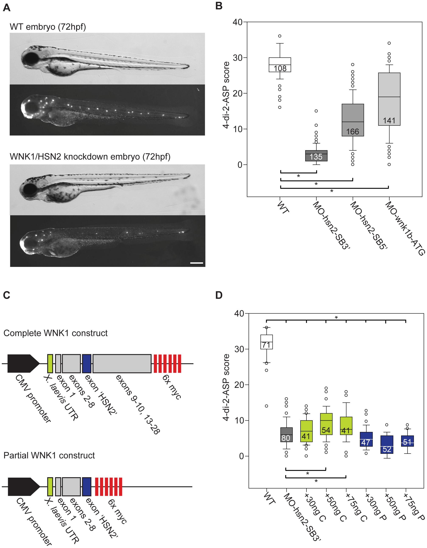 WNK1/HSN2 knockdown in zebrafish using antisense morpholino oligonucleotides (AMO).