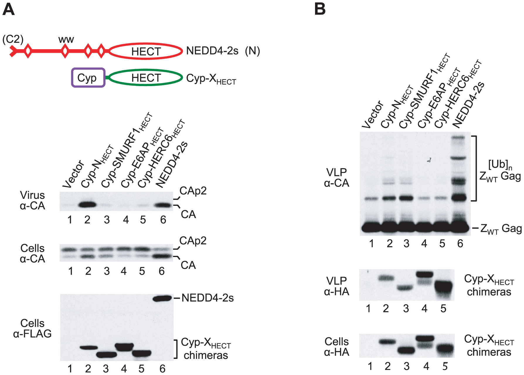 Induction of Gag ubiquitination is not sufficient to rescue of HIV-1 release.