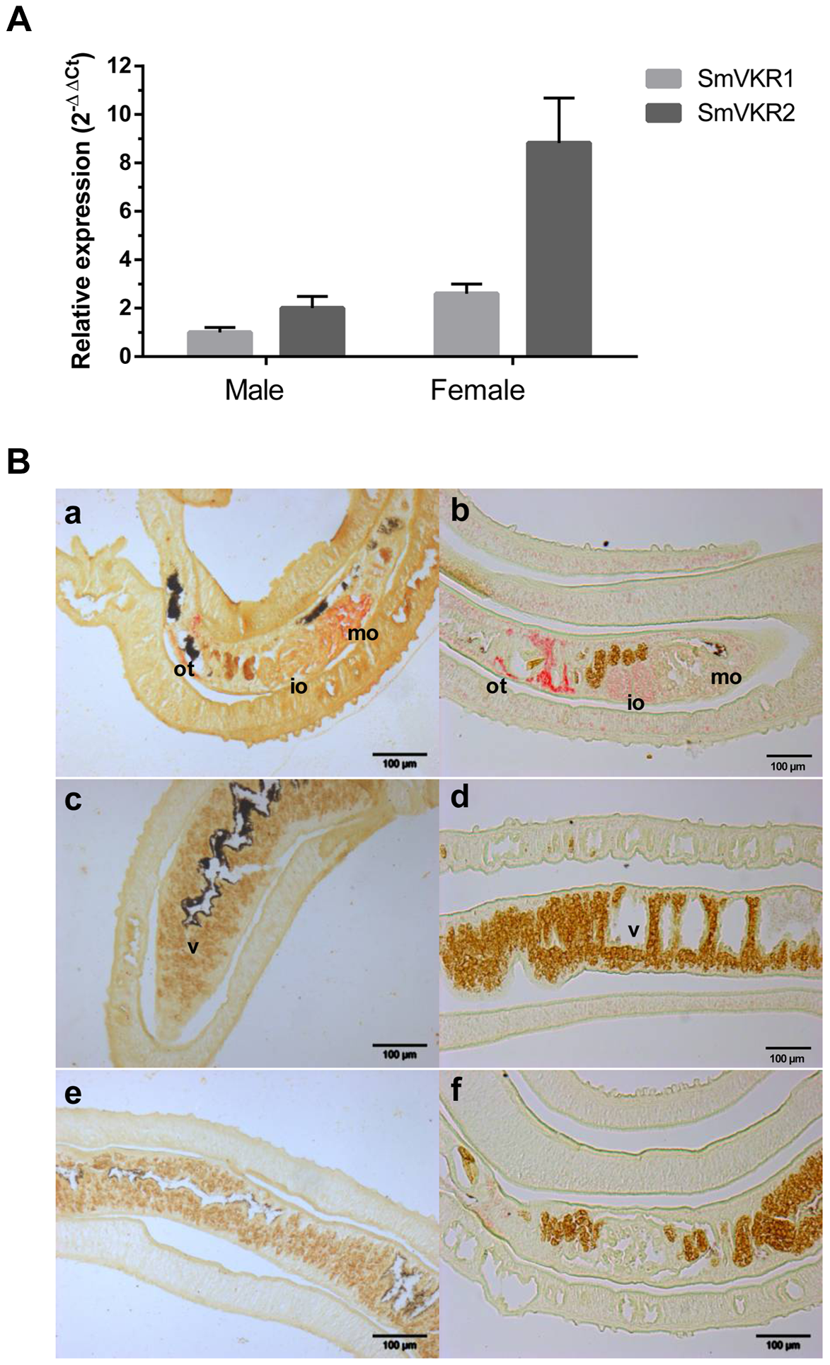 SmVKR1 and SmVKR2 expression patterns in adult worms.