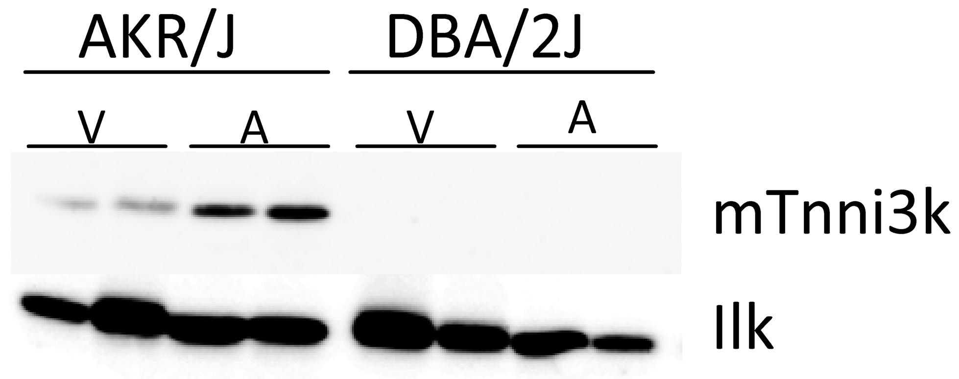 Tnni3k protein levels.