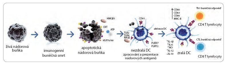 Indukce protinádorové odpovědi imunogenní nádorovou buňkou.