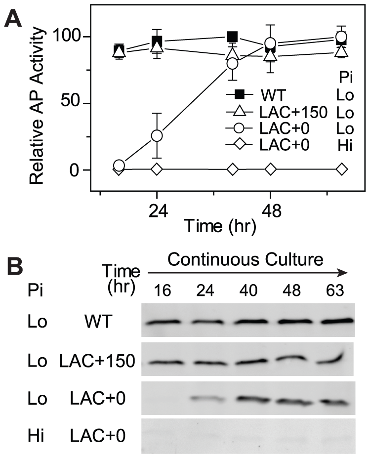 Cells expressing low levels of PhoB adapt to Pi-deplete environments by increasing PhoB expression.