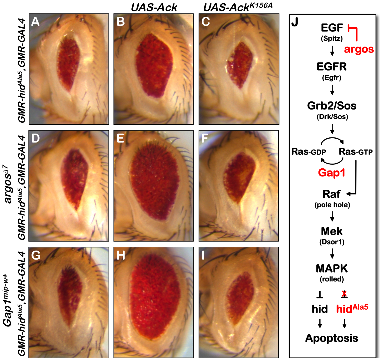 Ack anti-apoptotic function is stimulated by EGF receptor/Ras signaling.