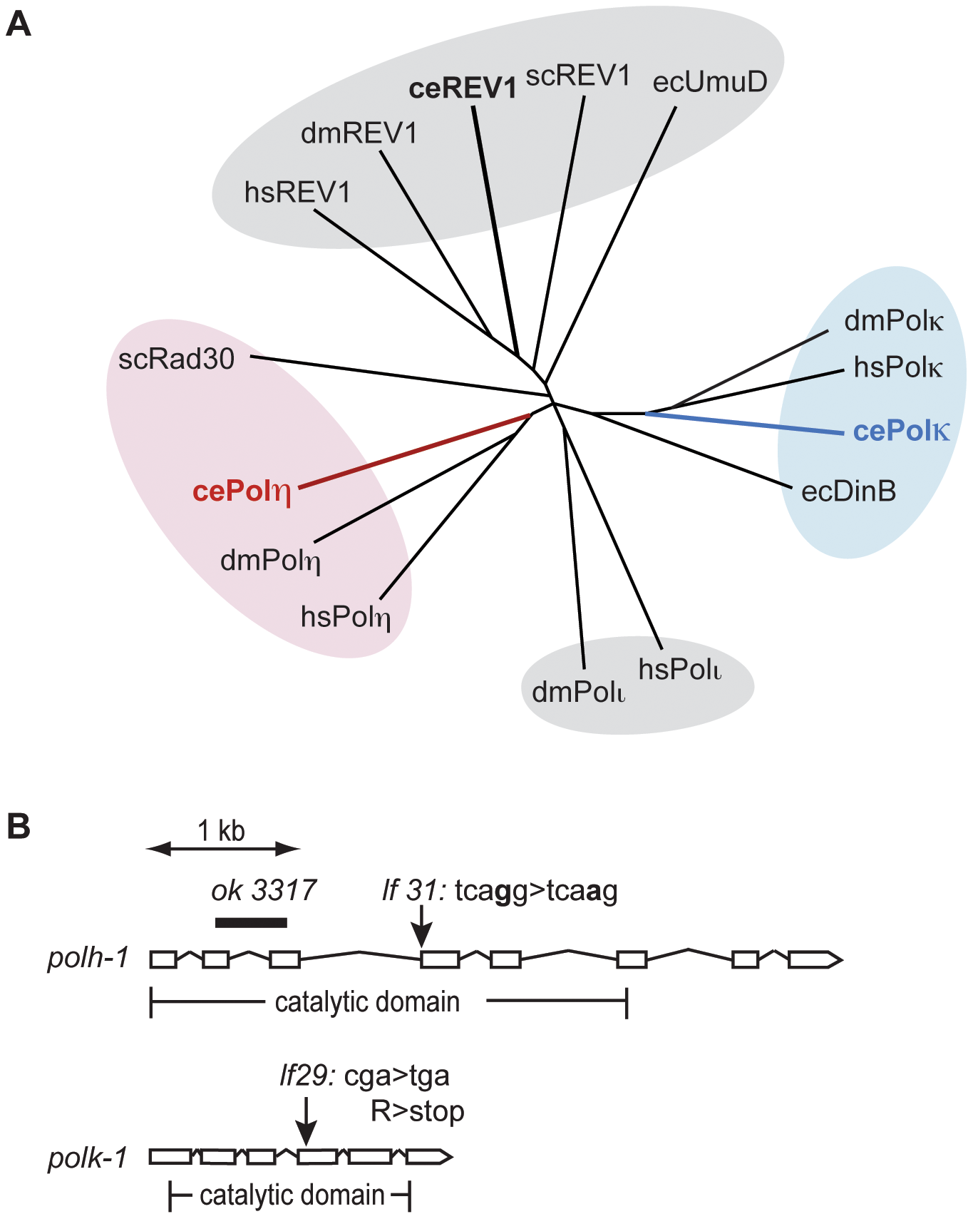Y-family polymerases POLH-1 and POLK-1 of <i>C. elegans</i>.