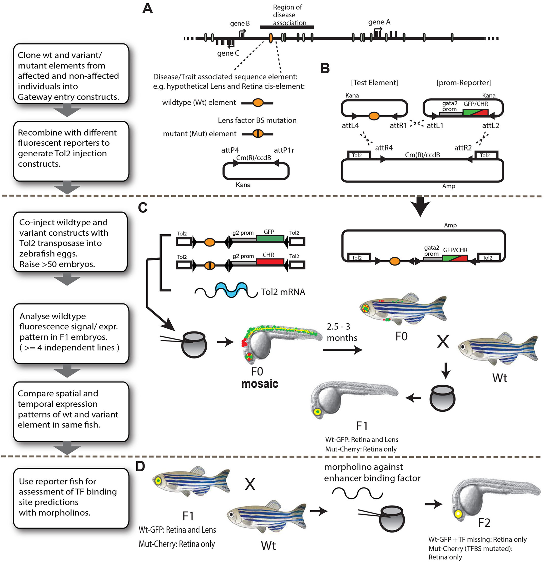 Schematic representation of the assay pipeline for <i>in vivo</i> characterisation of disease-associated cis-regulatory variants by dual-fluorescence reporter transgenic analysis in zebrafish.