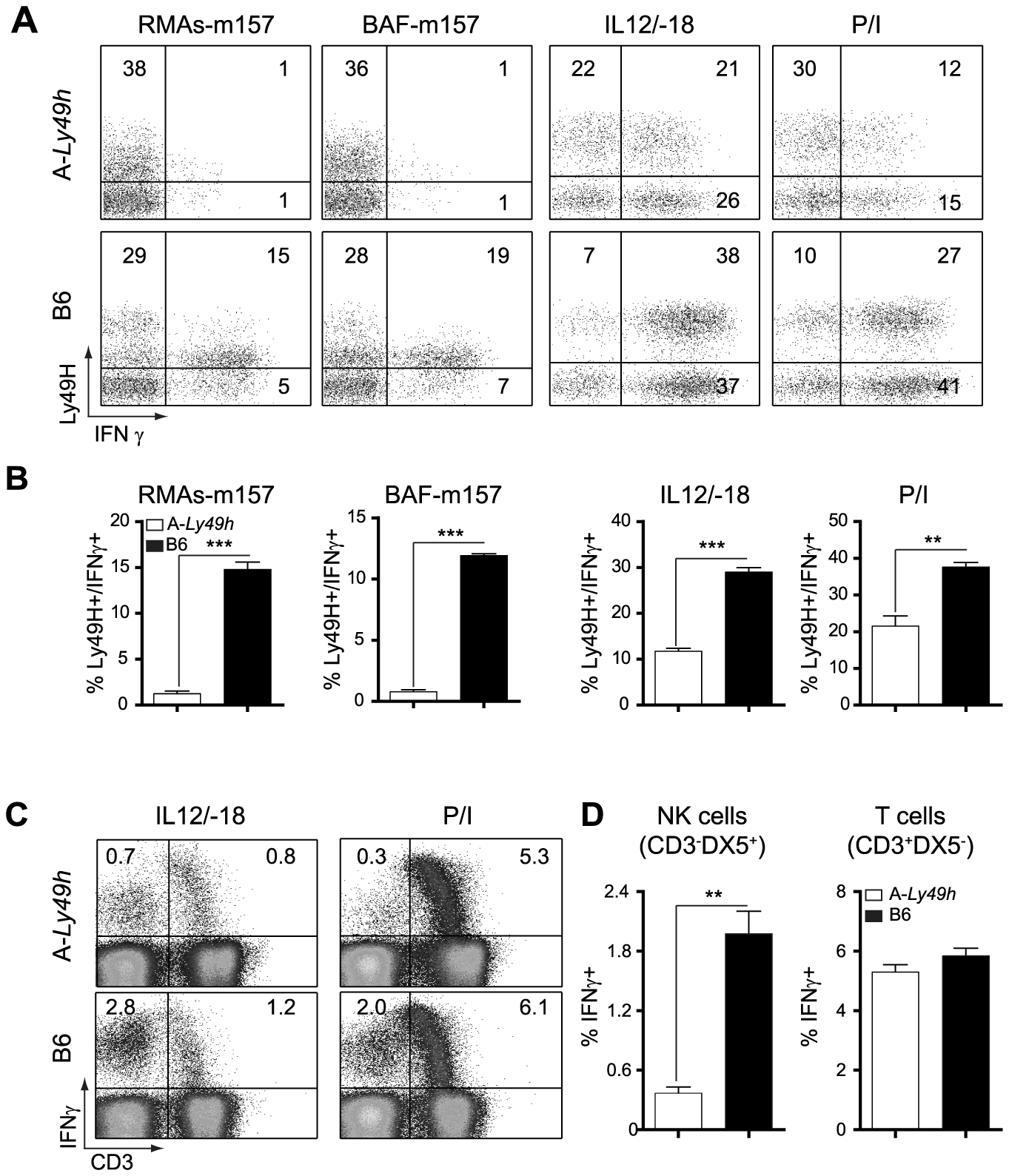 Decreased IFNγ production by Ly49H<sup>+</sup> NK cells in A/J mice.
