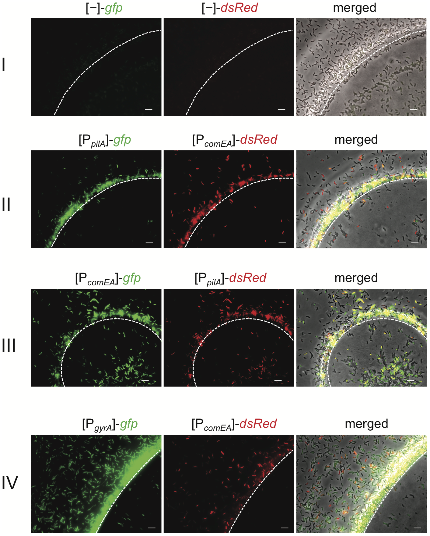 Visualization of competence gene expression on chitin surfaces.