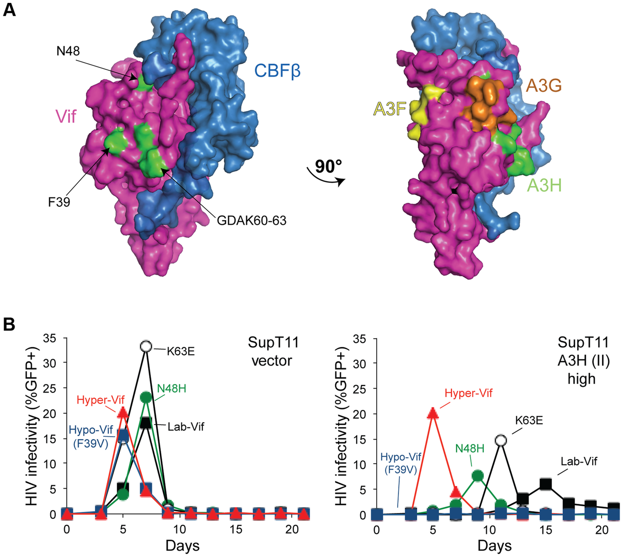Vif separation-of-function substitutions define the likely APOBEC3H interaction surface.