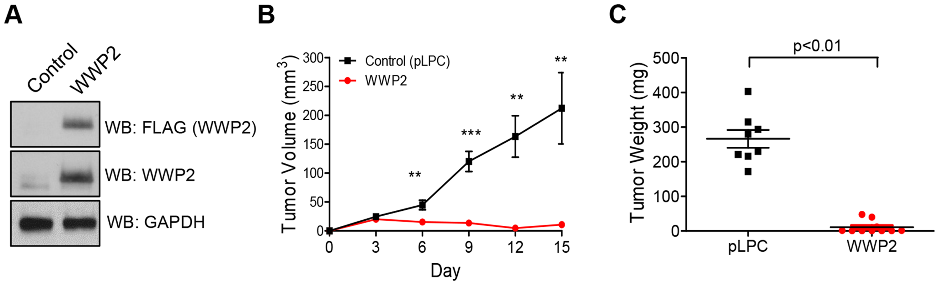 WWP2 suppresses tumor development of ovarian cancer cells.