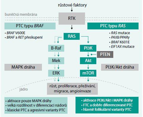 Schéma. Signalizace u PTC a dělení dle genetické analýzy