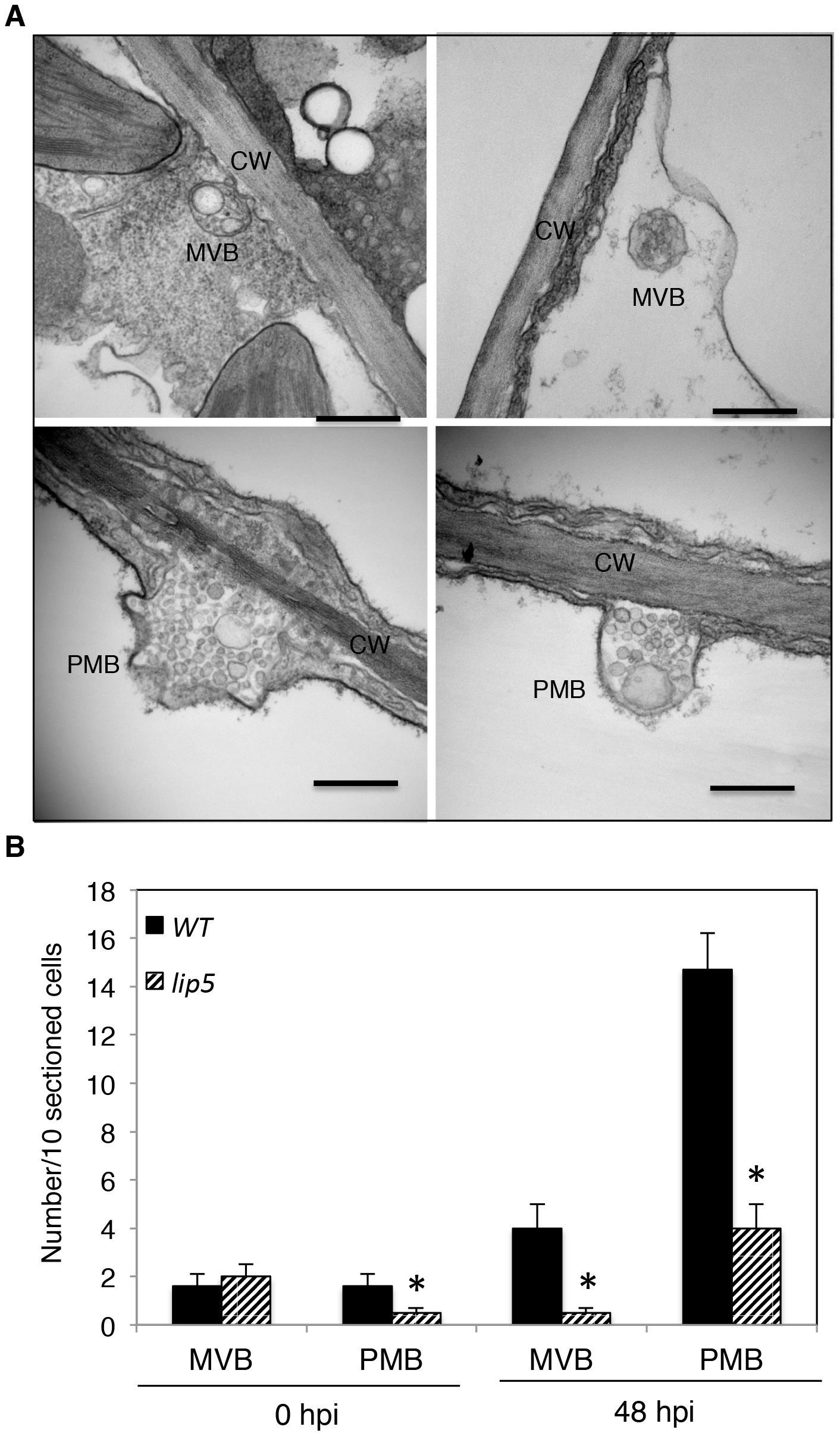 Pathogen-induced MVB and PMB formation.