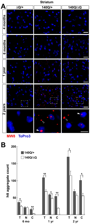 Reduced htt neuropil aggregates in the <i>Hdh<sup>140Q/ΔQ</sup></i> striatum.
