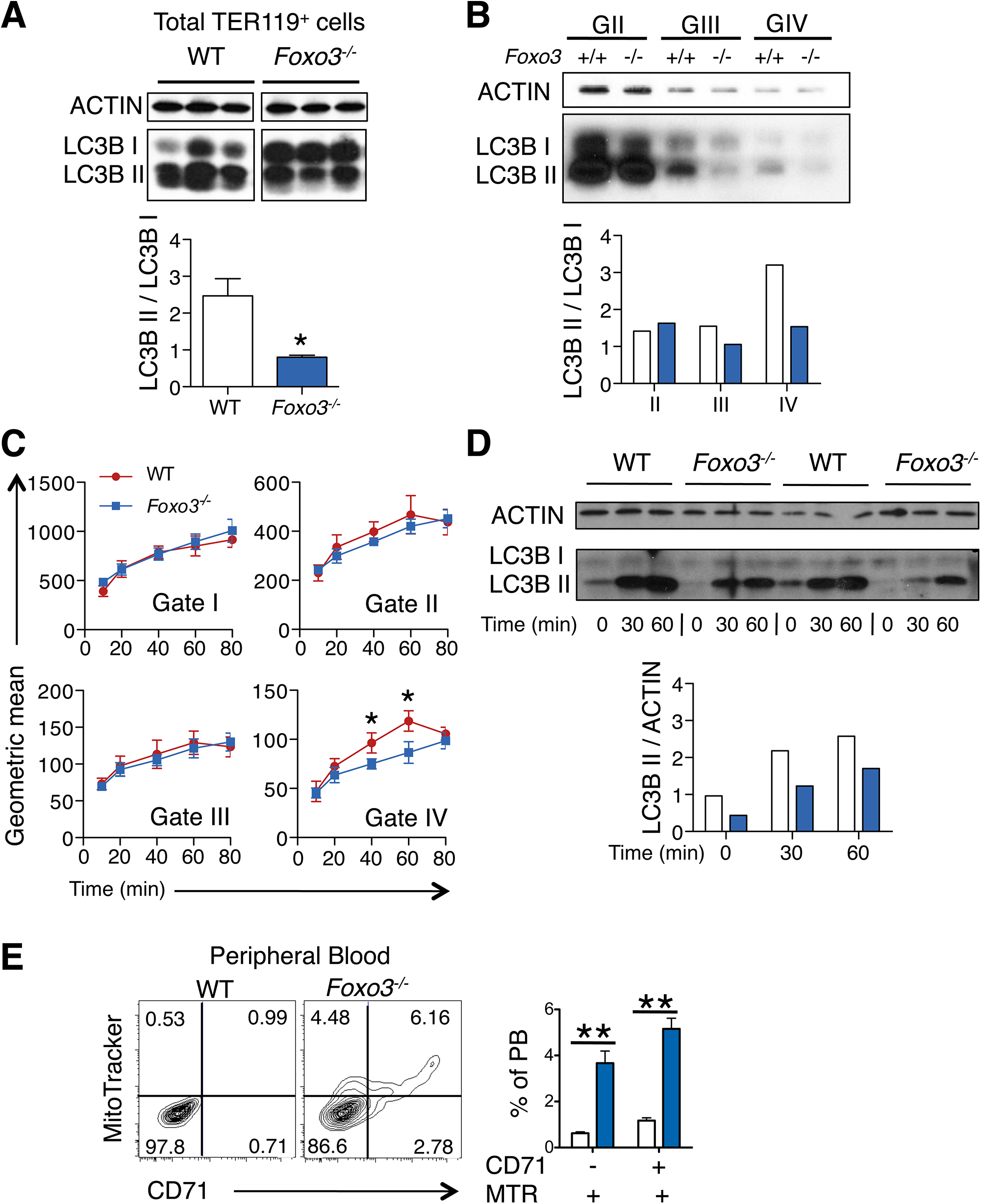 Autophagy and mitochondrial removal are impaired in <i>Foxo3</i><sup><i>-/-</i></sup> erythroblasts