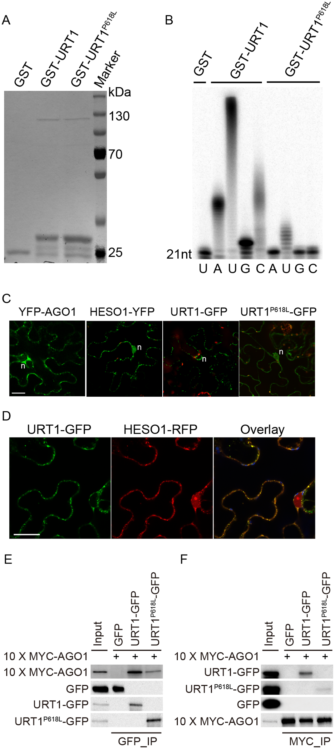 The P618L substitution impairs the URT1 activity, affects its subcellular localization and diminishes its interaction with AGO1.