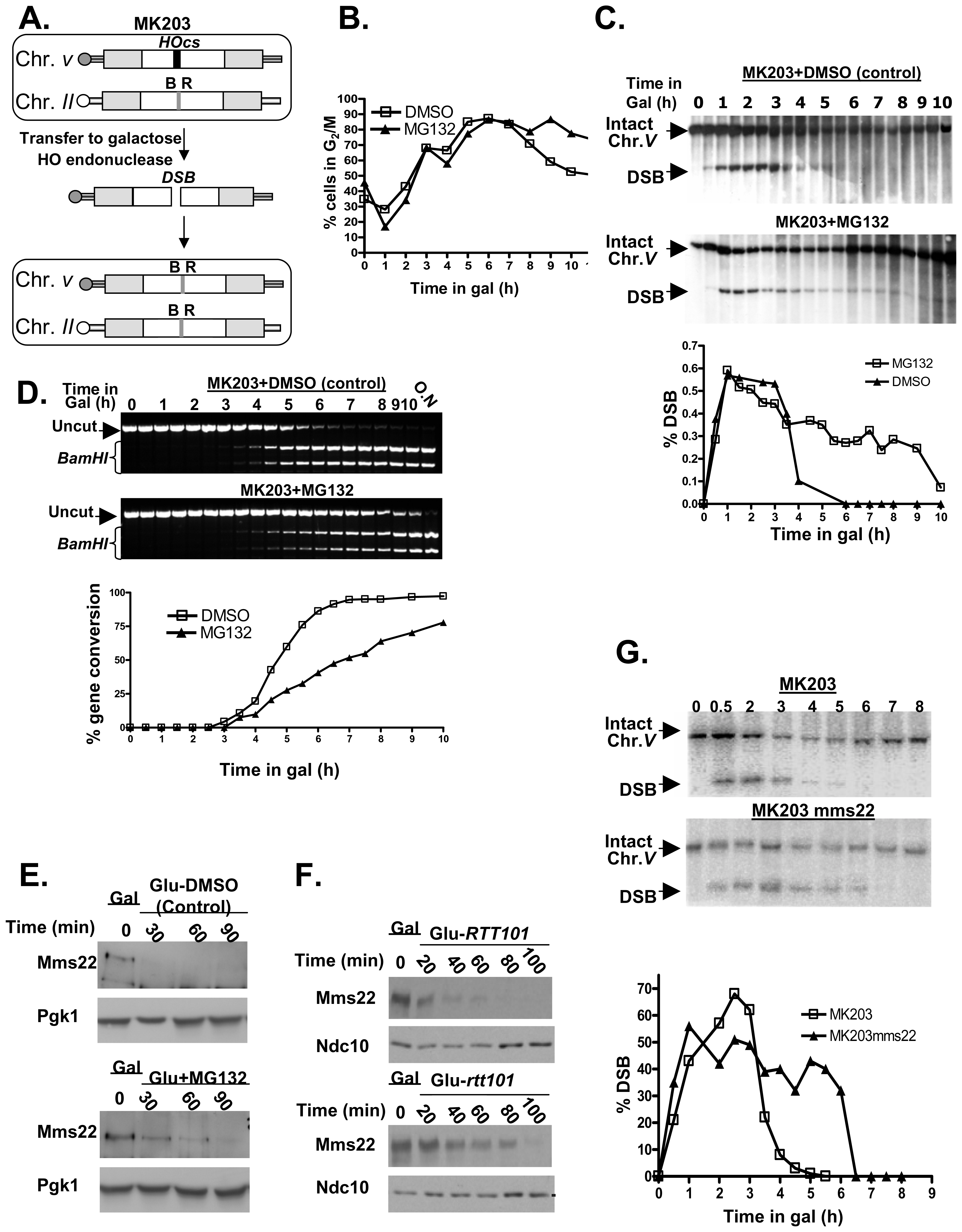 Proteasome mutants exhibit defective DSB repair kinetics; the turn over of Mms22 is regulated by the proteasome; Mms22 plays a role in DSB repair.