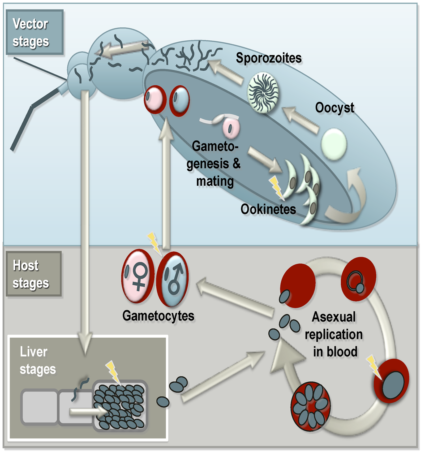 Summary of the malaria life cycle and apoptosis.