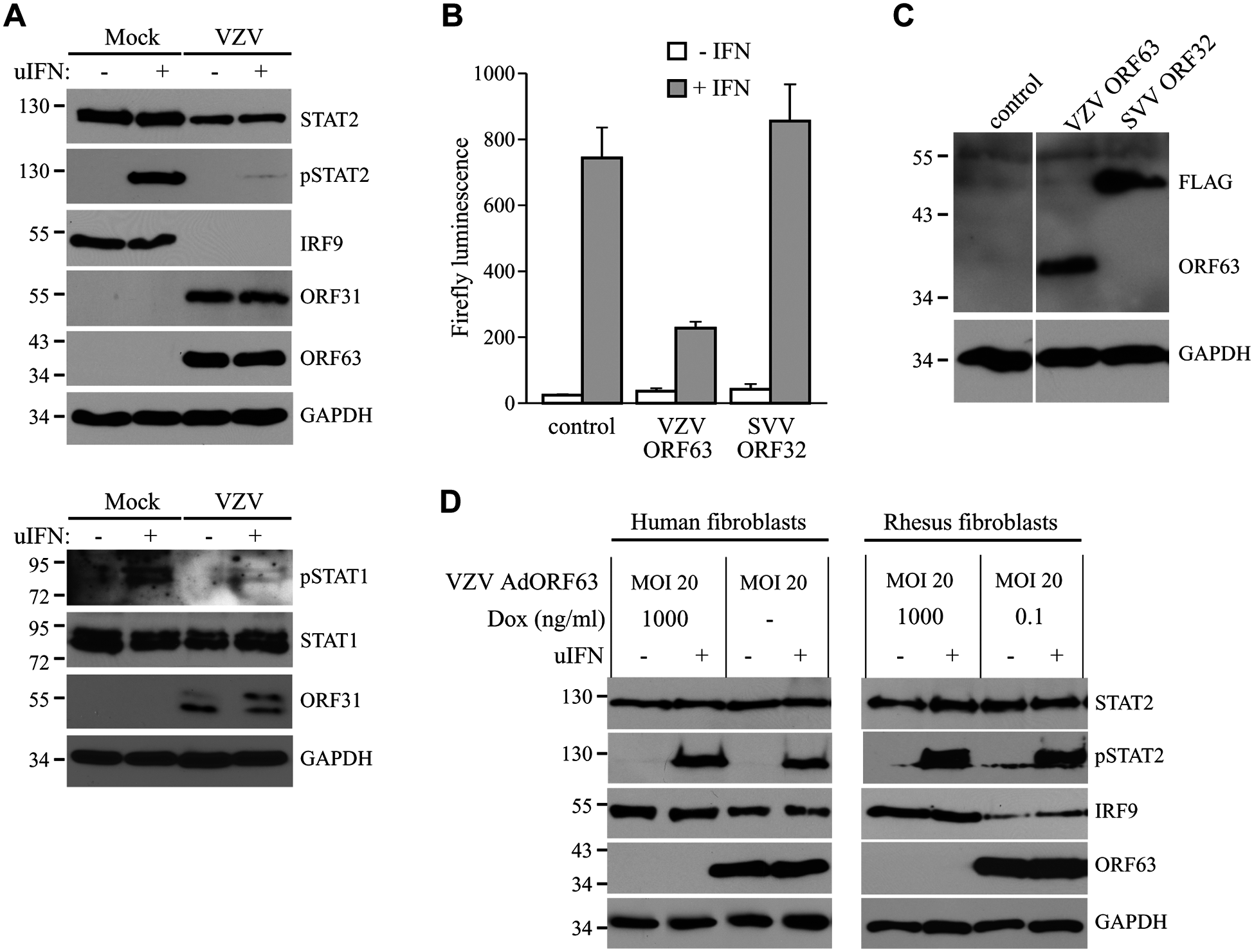 Inhibition of IFN-induced JAK-STAT signaling by VZV.