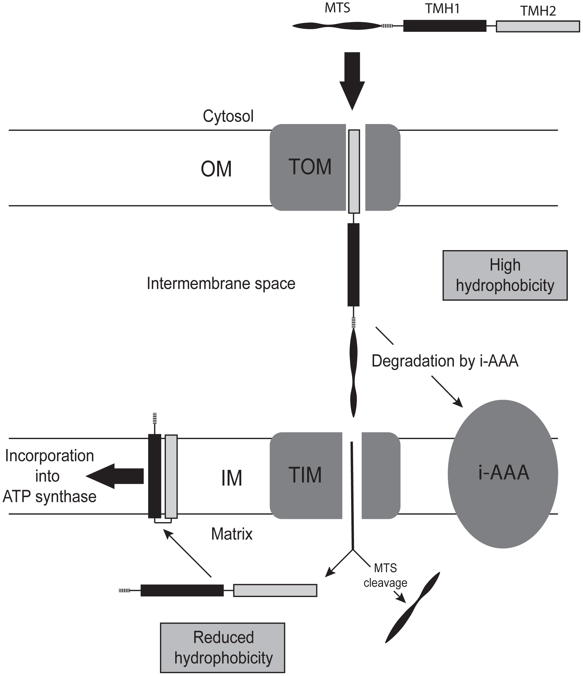 Model of how a reduction in the hydrophobicity of subunit 9 permits its functional expression from nuclear DNA.