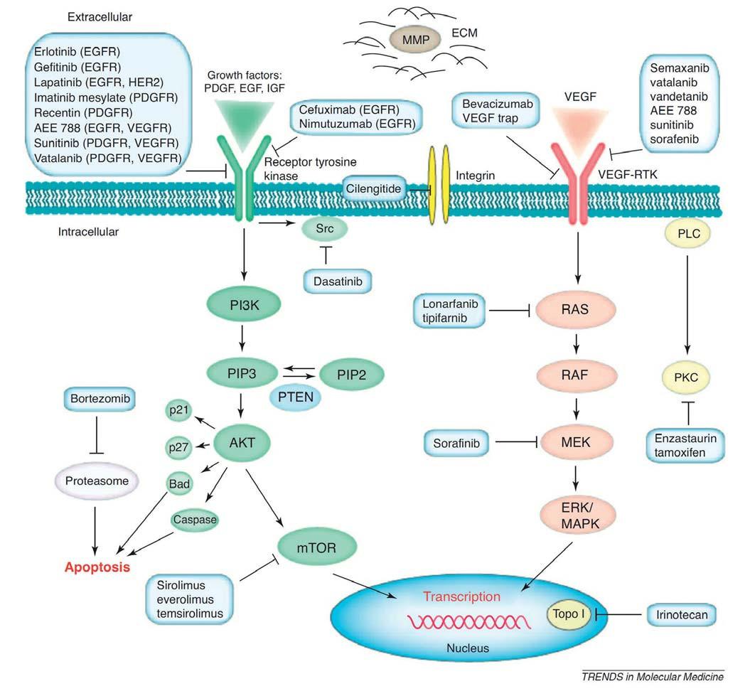 Schéma molekulárních cílů některých nitrobuněčných onkogenních signalizací a odpovídajících terapeutik, zkoušených v klinických hodnoceních u GBM. Převzato z [44].
